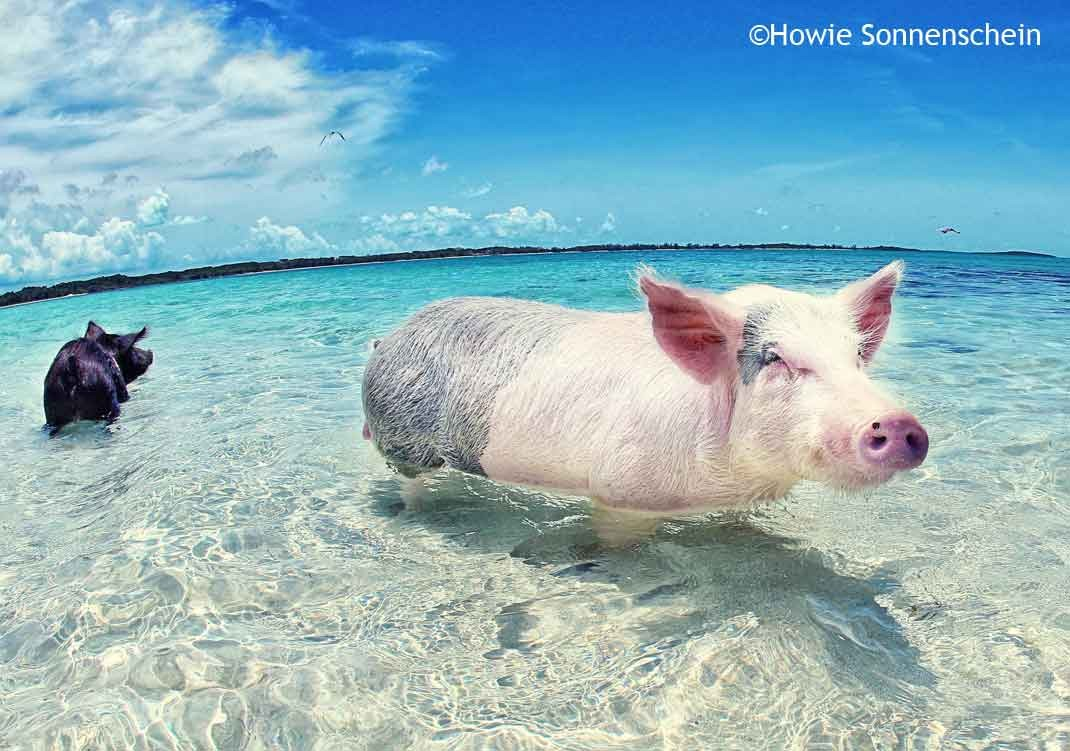 The swimming pigs from Exuda in the Bahamas