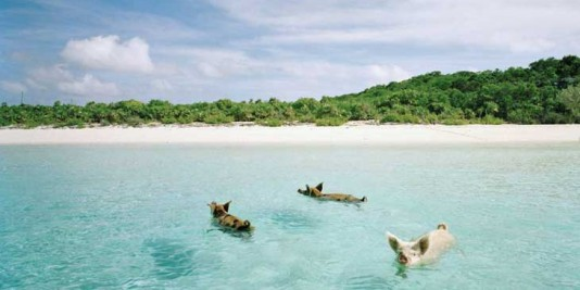 Three pigs swimming near the coast of the Exuma Islands