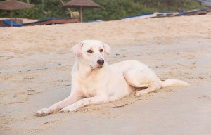 White dog lying on a beach while looking at the sea
