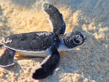 Baby turtle hatchling in the sand at Selingan Turtle Island in the Sulu Sea of Borneo. Photo by Beachmeter.com.