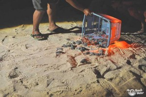 "Baby turtle hatchlings released on the beach on Selingan ""Turtle"" Island in Borneo. Photo by Beachmeter.com."