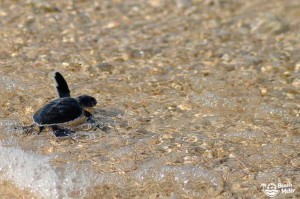 Baby turtle reaching the shallow water of the Sulu Sea of Borneo, Malaysia. Photo by Beachmeter.com.