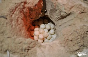 Turtle eggs in a sand pit inside a protected hatchery on Turtle Island (Pulau Selingan) on Borneo.
