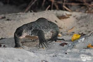 Water monitor lizard walking on a beach in Seligan Island (Pulau Selingan) in Sabah, Borneo. Photo by Beachmeter.com.